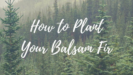 How to Plant Your Balsam Fir